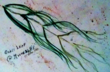 Grassleaf