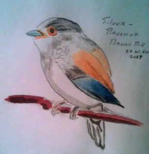 Silver Breasted Broadbill watercolor pencil